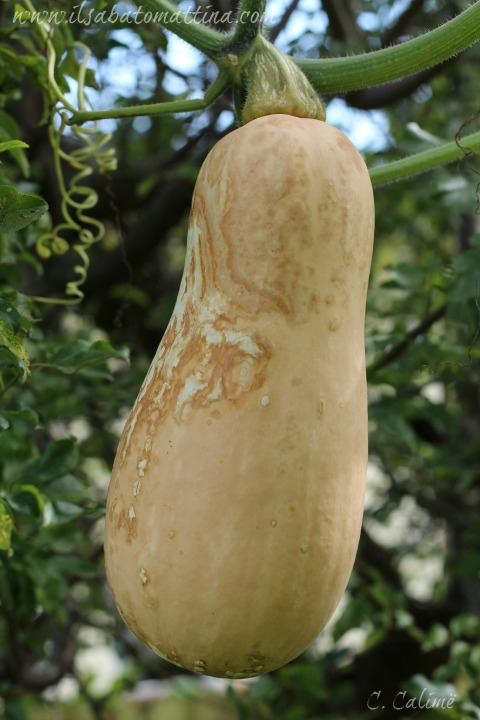 zucca gialla modsit1